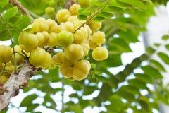 在树的星鹅莓。 库存照片