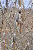 在树的春天芽 库存图片