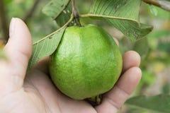 在树的有机番石榴果子在关闭 免版税库存图片