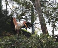 在树的有顶饰朱鹭 免版税库存图片