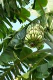 在树的未加工的香蕉 免版税库存照片