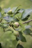 在树的未成熟的梨 免版税图库摄影