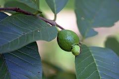 在树的未成熟的cattley番石榴 免版税库存照片