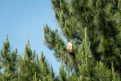 在树的杉木列队前进的巢 免版税库存照片