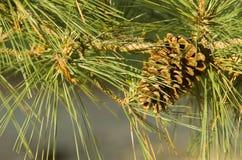 在树的杉木锥体在阿肯色 免版税库存照片