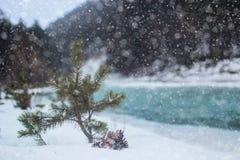 在树的杉木锥体 库存图片