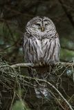 在树的条纹猫头鹰 免版税库存照片