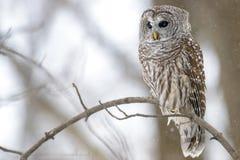 在树的条纹猫头鹰 免版税库存图片