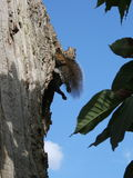 在树的松弛灰色灰鼠与蓬松两手插腰尾巴和的腿 库存图片