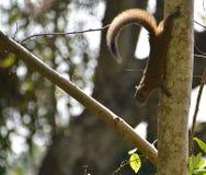 在树的松鼠科动物 免版税库存照片