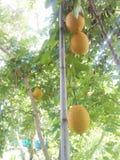 在树的果子 库存照片