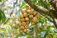 在树的果子 免版税库存图片
