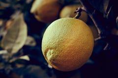 在树的柠檬 免版税图库摄影