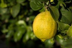 在树的柠檬 库存照片