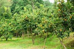在树的柿子新鲜水果 免版税库存图片