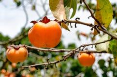 在树的柿子果子 库存照片