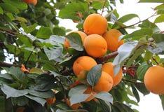在树的柿子 免版税图库摄影