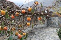在树的柿子 免版税库存照片