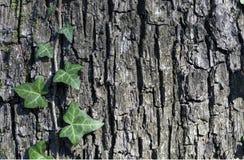 在树的树干的常春藤 免版税图库摄影