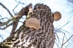 在树的树干的木蘑菇 库存图片