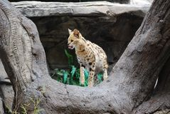 在树的树干的猎豹 免版税库存图片