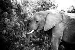 在树的树干-非洲人布什大象 免版税库存照片