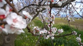 在树的桃子花本质上 影视素材