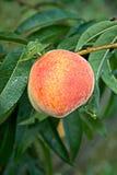 在树的桃子 免版税库存图片