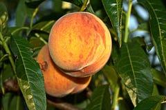 在树的桃子 免版税库存照片