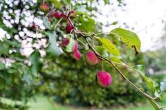 在树的桃红色果子 免版税图库摄影