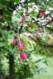 在树的桃红色果子 免版税库存照片