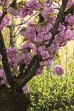 在树的桃红色花在春天 免版税库存图片