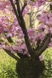 在树的桃红色花在春天 库存图片