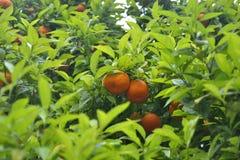 在树的桔子 免版税库存照片