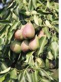 在树的梨, 免版税库存图片