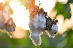 在树的棉花花在棉花领域日落背景中 免版税图库摄影