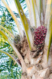在树的棕榈油果子 库存照片