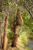 在树的棕熊崽 免版税库存图片