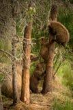 在树的棕熊崽 免版税库存照片