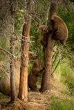 在树的棕熊崽 库存图片