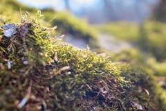 在树的森林青苔 青苔关闭 青苔宏观照片  树长满与绿叶 森林的照片在一好日子 库存照片