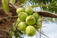 在树的椰子,在树的绿色椰子 库存图片
