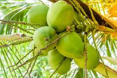 在树的椰子 库存照片