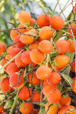 在树的槟榔棕榈 免版税图库摄影