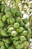 在树的槟榔棕榈 库存图片