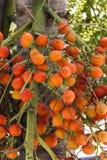 在树的槟榔棕榈 免版税库存照片