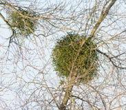 在树的槲寄生 免版税库存图片