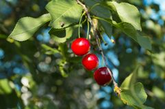 在树的樱桃 免版税库存照片