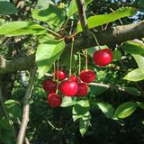 在树的樱桃 免版税库存图片