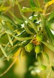 在树的橄榄色的果子 免版税库存图片